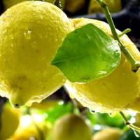 Healthy Lifestyle: Wonder Lemon